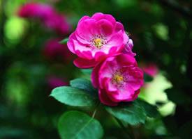 一组十分艳丽的蔷薇花图片