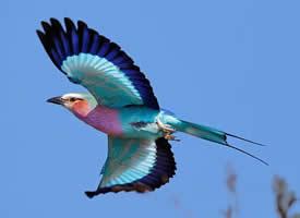 飞翔的紫胸佛法僧