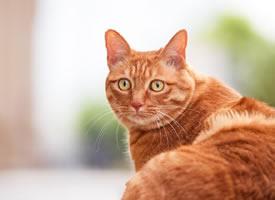 一组威武霸气的橘猫图片