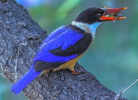 漂亮的蓝翡翠鸟图片