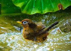 一组画眉鸟洗澡图片