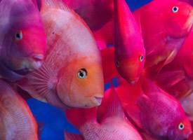 红色的金鱼图片