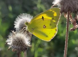一组黄色蝴蝶蝶恋花图片