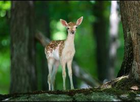 一组森林里的鹿图片