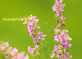 粉紫浪漫小碎花—千屈菜花开