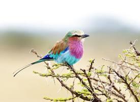羽毛亮丽的紫胸佛法僧