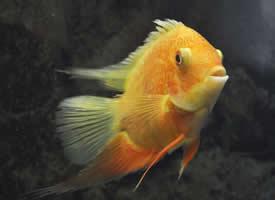 金黄色的金菠萝鱼图片