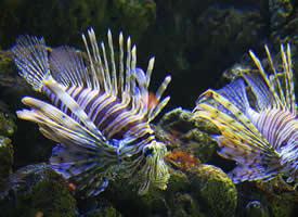 一组美丽的狮子鱼图片
