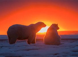 日落下的北极熊图片