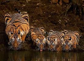一组老虎喝水的摄影图片欣赏