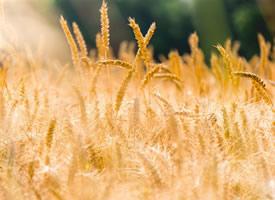 自然漂亮的麦田风光图片