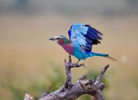 迷人美丽的紫胸佛法僧