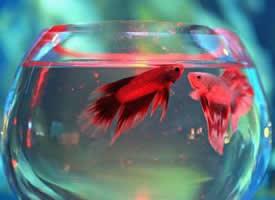 一组鱼缸里的斗鱼图片
