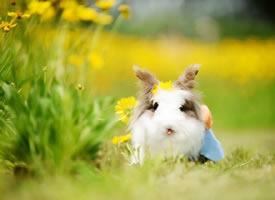 一只超级软萌的小兔兔图片