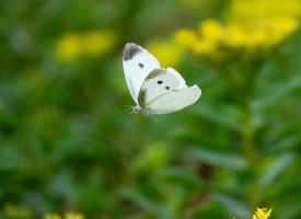 在花园转乎的在花园转乎的蝴蝶图片欣赏