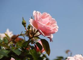 一组粉色唯美的蔷薇花图片