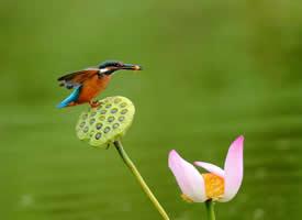 莲蓬上的翠鸟图片