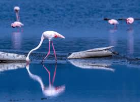 美丽迷人的火烈鸟图片