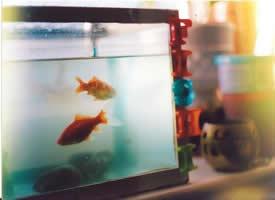 养在鱼缸里的金鱼图片
