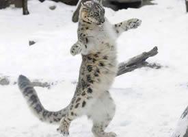 一组雪中嬉戏的花豹图片