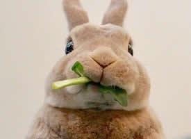 一组超级可爱呆萌的小兔子图片