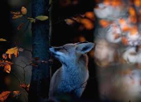 一组意境感超级美的狐狸图片