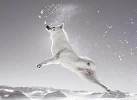在雪中嬉戏的狗狗图片