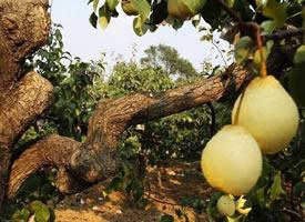 挂在树上很新鲜的梨图片