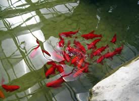 清澈水底的锦鲤图片