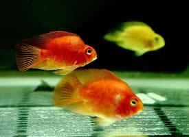 鱼缸里的小鱼实拍图片