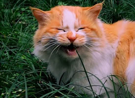 草地里玩耍的橘猫图片