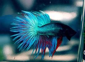 一组漂亮的蓝色斗鱼图片