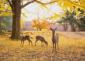 秋日奈良下的小鹿图片