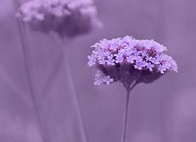 马鞭草紫色浪漫高清桌面壁纸