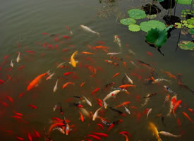 荷塘里的锦鲤图片