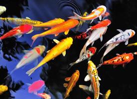 一组快活的锦鲤图片