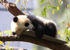 一组可爱呆萌的大熊猫图片