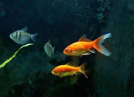 舞动的金鱼图片