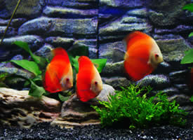 一组美丽的观赏鱼图片