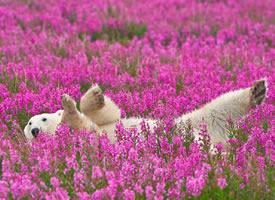 花丛中的北极熊图片欣赏