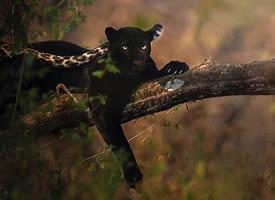 一组森林里灵敏的黑豹图片