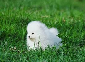 草地上超可爱的博美狗狗