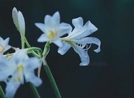 雨中的白花石蒜,晶莹剔透