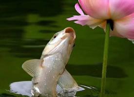 一组鱼儿戏荷花图片