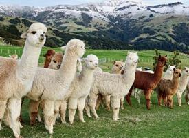 牧场里可爱的羊驼图片