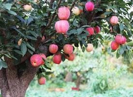 挂在树上甜甜的苹果图片