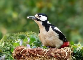 大树的森林医生啄木鸟图片