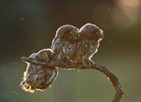 三只超可爱的猫头鹰图片