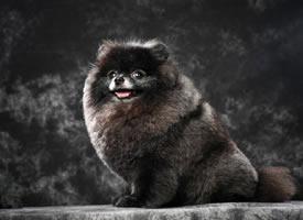 一只超可爱黑黑的博美狗狗