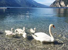 意大利加尔达湖的天鹅图片